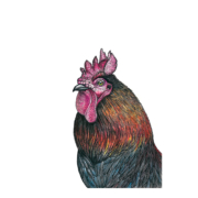 Rooster-2