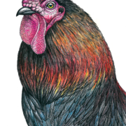 Rooster-4