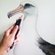 Albatross-5