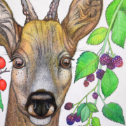 Deer-and-berries-4