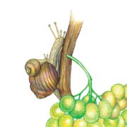 The-magic-of-grape-flavor-5